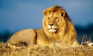 К чему снятся львы и тигры женщине