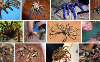 Убить во сне паука большого