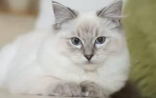 К чему снится лысая кошка