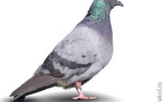 К чему снится черный голубь