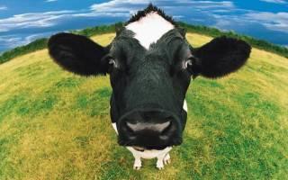 К чему снится беременная корова