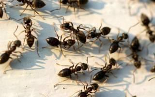 Сонник муравьи много