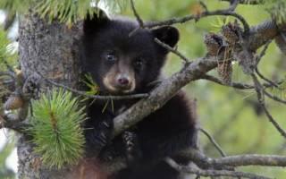 Сонник миллера медвежонок