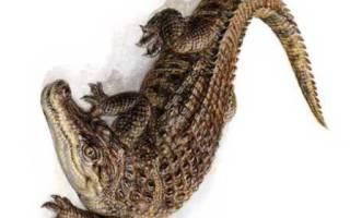 Крокодил сонник для женщины