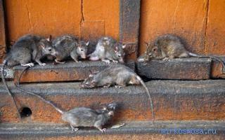 К чему снятся крысы во сне