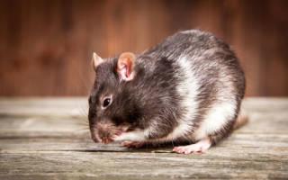 Видеть во сне крысу живую к чему
