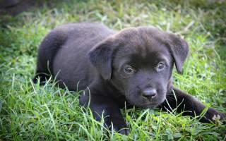К чему снится маленькая черная собачка