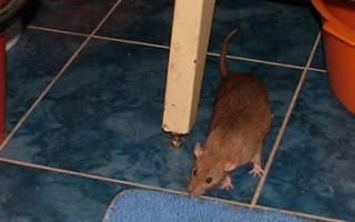 К чему снятся крысы в доме