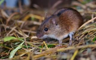 К чему снятся мыши во сне
