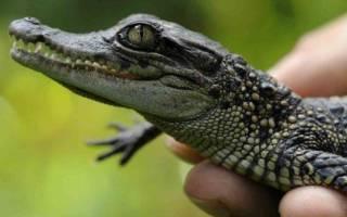 К чему снится белый крокодил