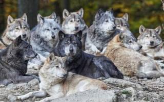 Убегать во сне от волка для девушек