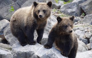 Сонник медведь в доме
