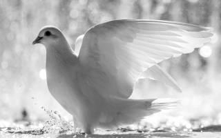 Сонник белая птица