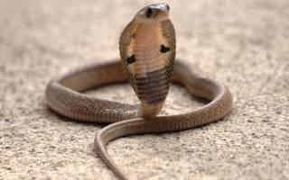 Белая кобра сонник