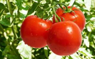 Сонник помидоры красные видеть на кустах