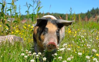 Сонник к чему снятся свиньи