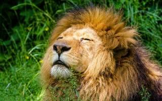 Сонник к чему снится лев