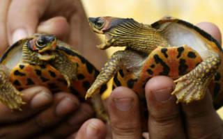 К чему снится черепаха женщине маленькая