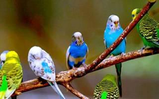 К чему снятся волнистые попугаи для женщин