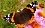Сонник бабочка
