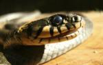 Змея пытается укусить во сне