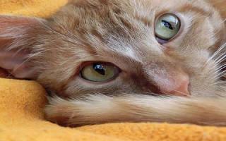 К чему снится своя кошка домашняя