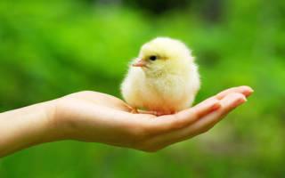 Сонник видеть цыплят
