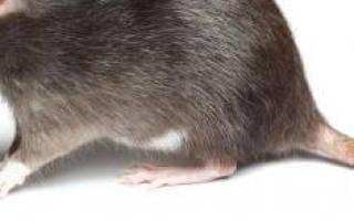 К чему снятся крысы в клетке