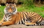 Гладить во сне тигра для девушек