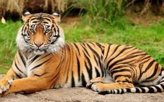 К чему снится тигр девушке