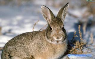 Сонник зайцы много