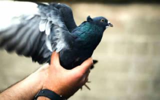 Сонник голубь сел на руку