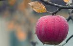 К чему снятся большие яблоки на дереве