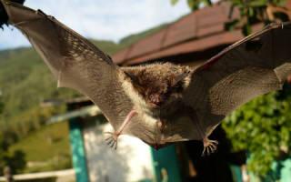 Летучая мышь во сне значение