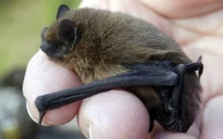К чему снится летучая мышь в руках