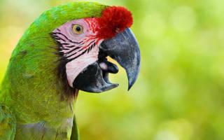 К чему снится говорящий попугай женщине