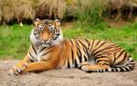 Если снится тигр что это значит