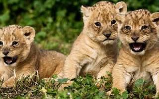 К чему снится львенок на руках