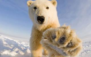 К чему снится белый медведь девушке