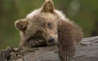 К чему снится медвежонок женщине незамужней