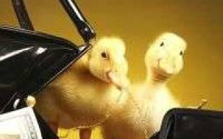 К чему снятся маленькие утята и цыплята