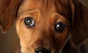 К чему снится собака без лапы