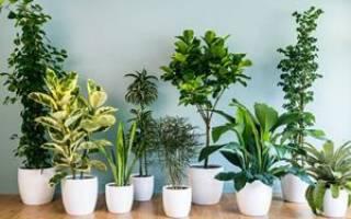 Растение сонник