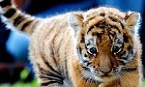 К чему снятся тигрята маленькие