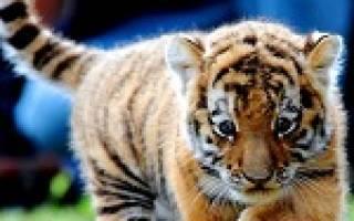 К чему снится маленький тигр