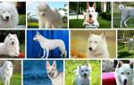 Сонник маленькая белая собачка