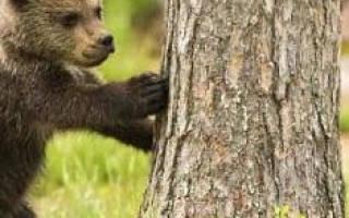 Сонник медведь к чему снится девушке