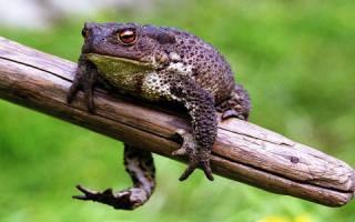 К чему снится жаба женщине
