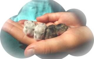 К чему снятся хомяки и крысы