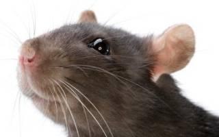 К чему снятся мыши и крысы много